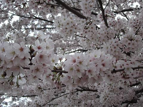 桜3-s.jpg